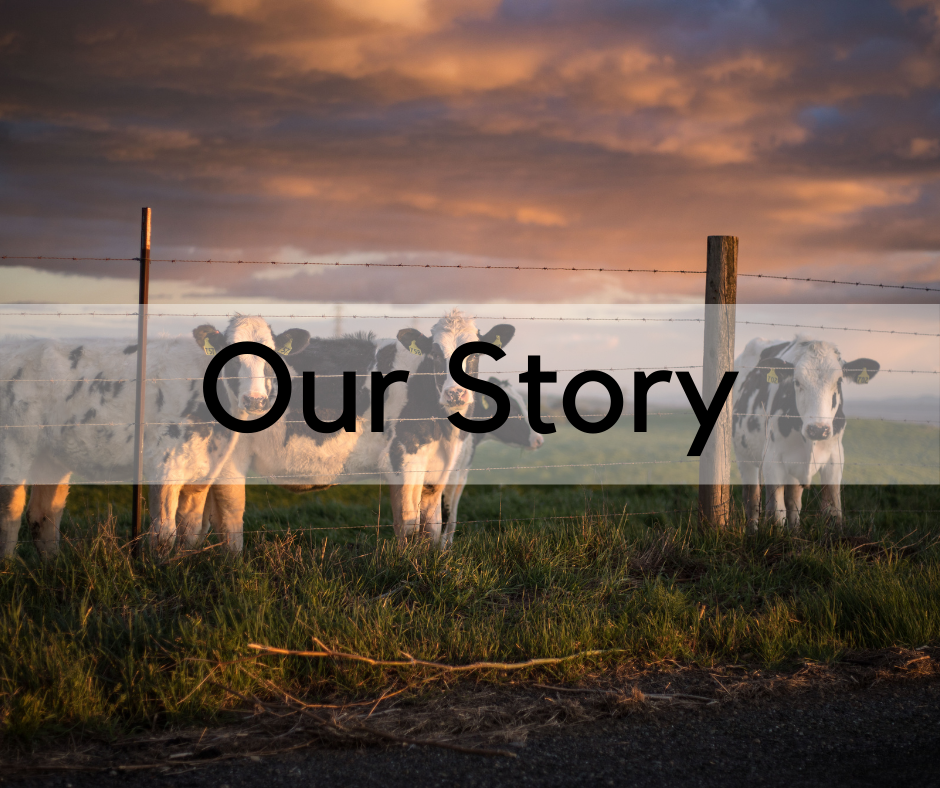 Our Story cows in field